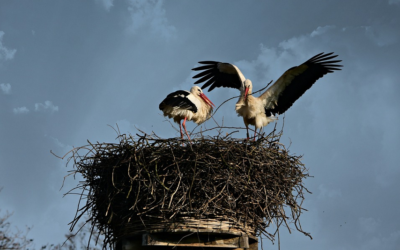 Čapí hnízdo v Bohuslavicích