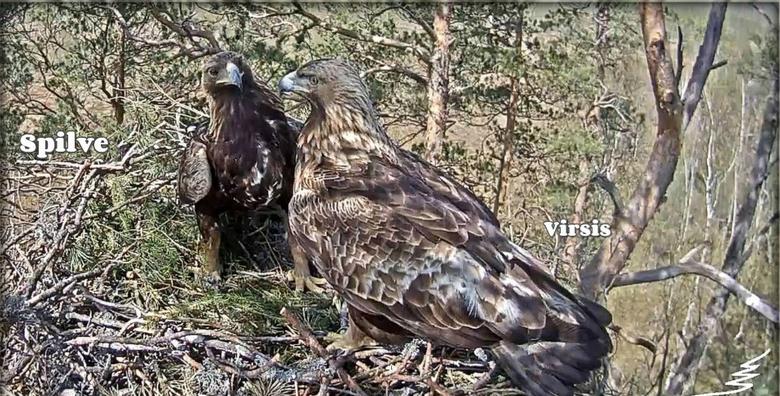 V Lotyšsku se orli skalní připravují na hnízdění