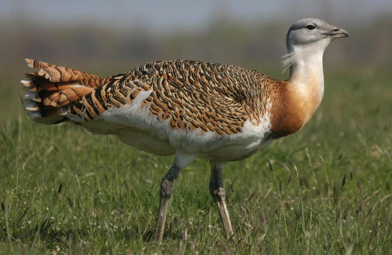Na Hané se objevil drop velký, největší polní pták Evropy