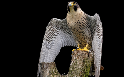 Halcón peregrino - Baltimore, Maryland
