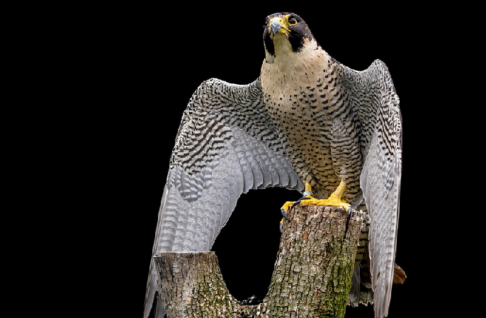 Peregrine Falcon - Baltimore, Maryland