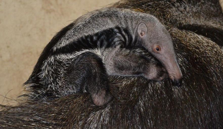 V liberecké zoo se poprvé narodil mravenečník