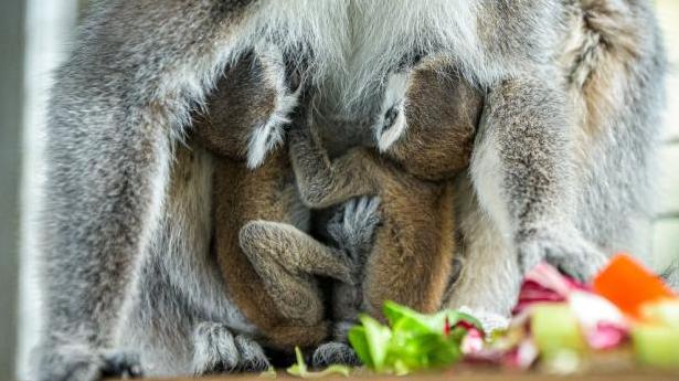 I gemelli Lemur Kata sono nati nello zoo di Praga