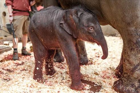 Un elefantino è nato allo zoo di Praga la mattina presto, un altro bambino sta arrivando