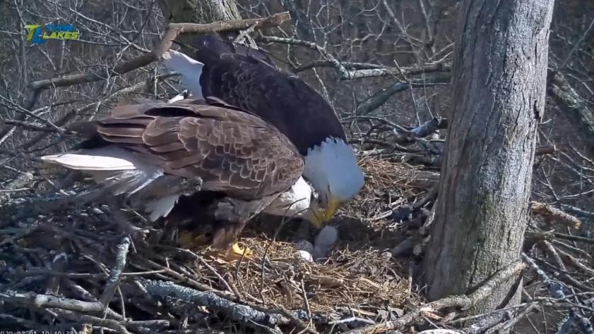 V hnízdě orlů bělohlavých u jezera Dale Hollow se líhnou mláďata