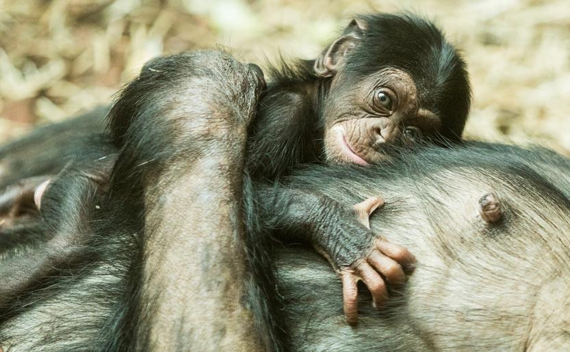 Una rara aggiunta allo zoo di Ostrava, un cucciolo di scimpanzé è nato dopo 10 anni