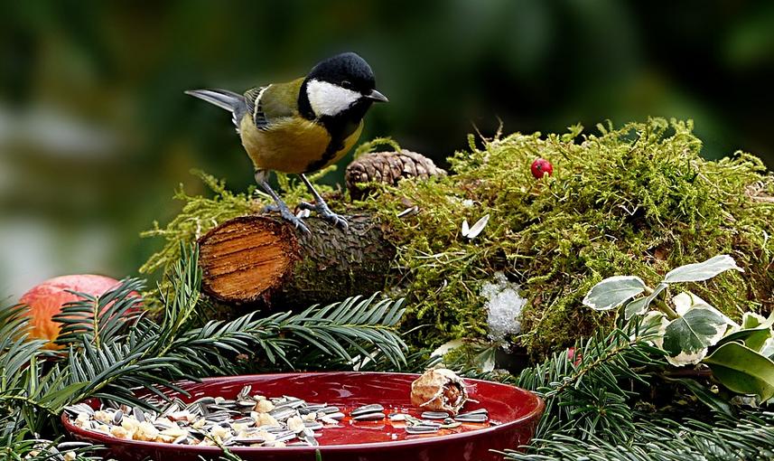 Gli alimentatori durante il censimento degli uccelli di gennaio hanno visitato la Cinciallegra