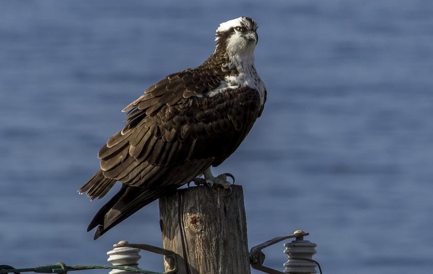 Águila pescadora - Nidos en Finlandia