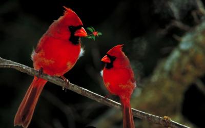 Kardinál červený – webkamera