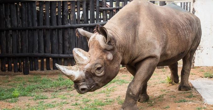 Jeden z pěti nosorožců převezených ze Dvora Králové do Rwandy uhynul