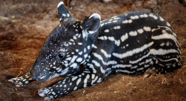 V pražské zoologické zahradě se narodilo mládě tapíra čabrakového