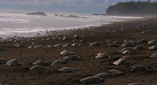 Ohrožené mořské želvy se líhnou na opuštěné brazilské pláži