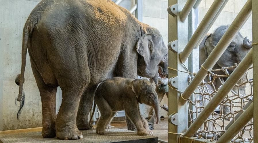 V pražské zoo se narodilo další slůně