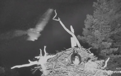 Útoky na hnízdo orlovců říčních na ostrově Hog pokračují