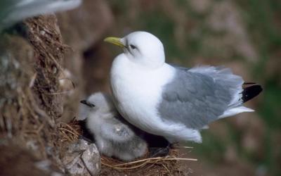 Racek tříprstý – hnízdiště v Anglii