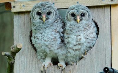 Mladí puštíci proužkovaní úspěšně opustili hnízdo – Hnízdění 2020