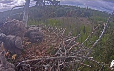 Nejmladší mládě orlů mořských bylo odstraněno starším sourozencem z hnízda