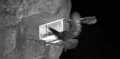 Tragické zakončení sezóny sokolů stěhovavých v Minnesotě – Výr virginský odnesl mláďata z hnízda