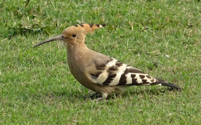 Crested Hoopoe - webcam