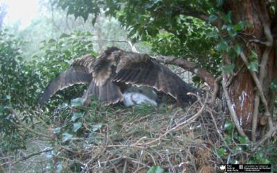 Drama v hnízdě orlů nejmenších, jestřáb odnesl mládě z hnízda