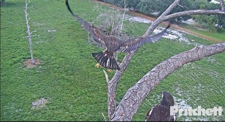 El primer vuelo de un águila joven E15 y el primer E16 posado en el nido de Harriet y M15