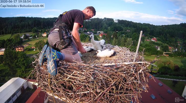 Kroužkování mladých čápů na hnízdě v Bohuslavicích