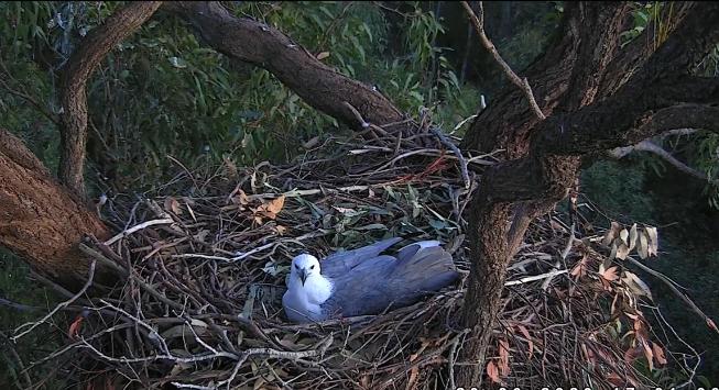 La hembra de águila de vientre blanco Lady puso dos huevos