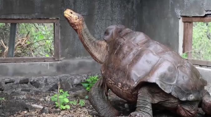 Želva, která pomohla zachránit svůj poddruh se vrátila do přírody