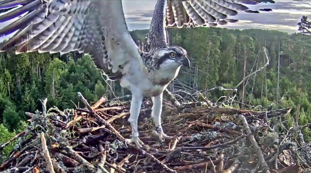Young eagles from the Estonian nest Kalakotkas2 are already flying!
