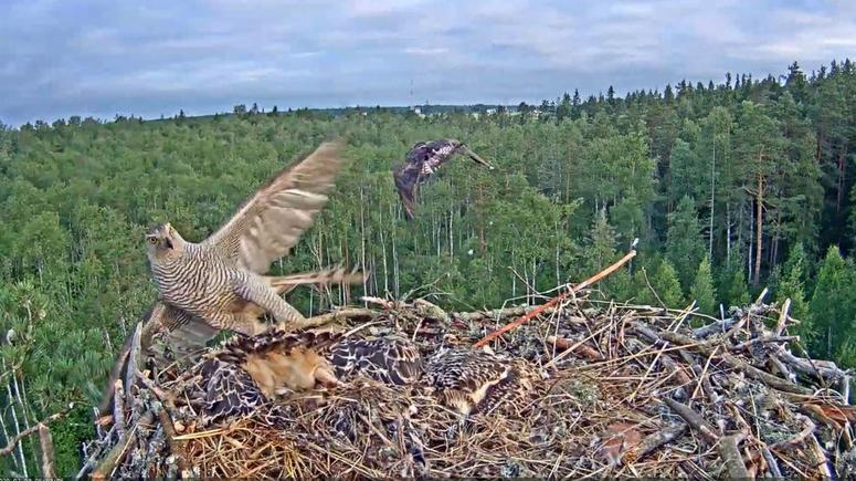 Nešťastná událost na hnízdě orlovců říčních v Estonsku. Během jediného dne odnesl jestřáb lesní dvě mláďata z hnízda.