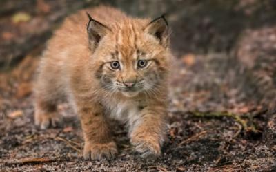 V Zoo Děčín se narodilo mládě rysa ostrovida