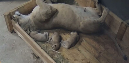 V Zoo Dvůr Králové se narodila mláďata lva berberského