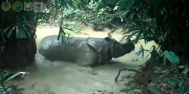 Skrytá kamera natočila unikátní video vzácného nosorožce