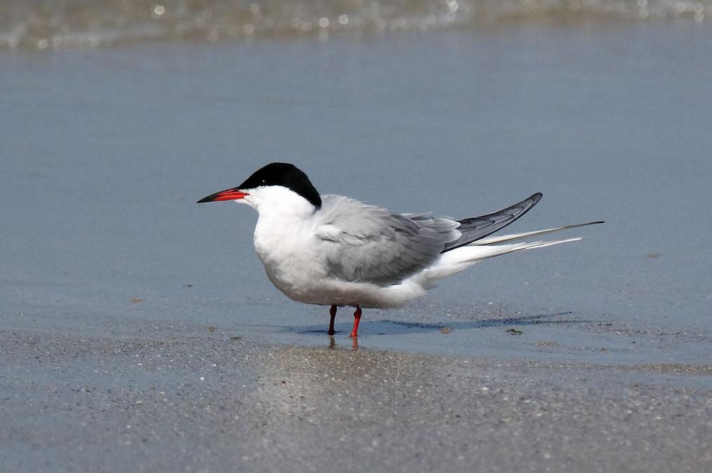 Na Lipně zahnízdil silně ohrožený pták rybák obecný, přilákaly ho plovoucí ostrovy
