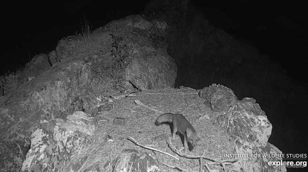 Ostrovní liška na hnízdě orlů bělohlavých Two Harbors