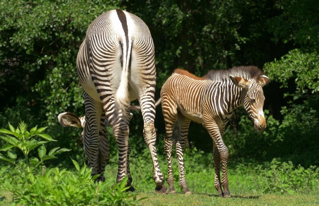 Ostravská zoo odchovává mládě nejohroženější zebry Grévyho