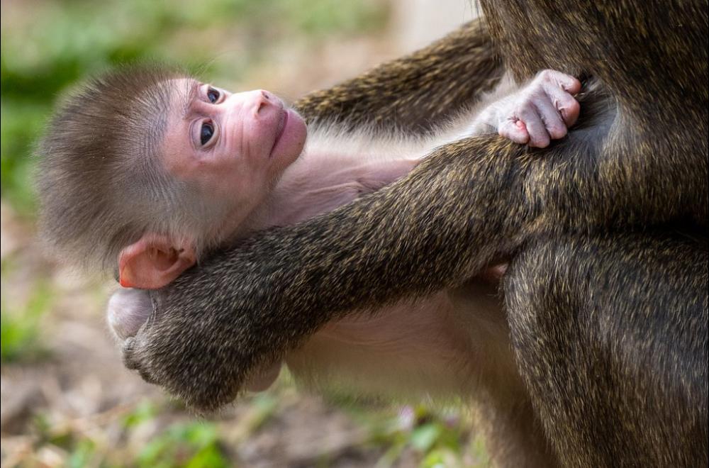 A young black-faced drill was born in the safari park