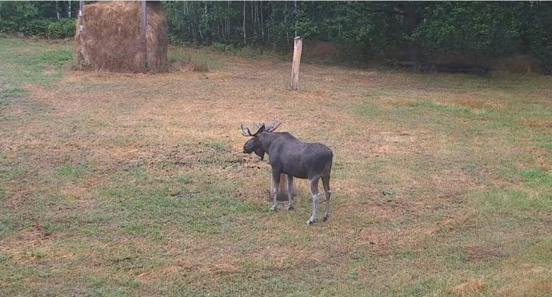 Moose on a pasture in the Browsk forest - video