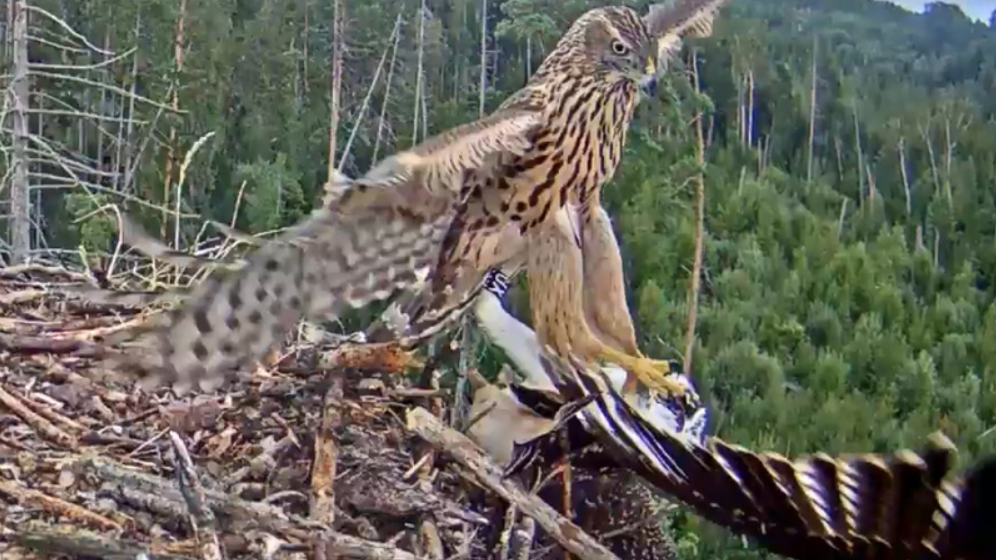 Útok jestřába na mladého orlovce říčního v Estonsku
