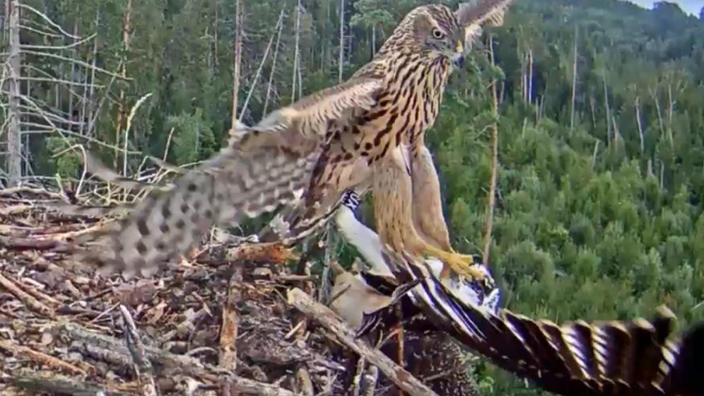 Hawk attack on a young golden eagle in Estonia