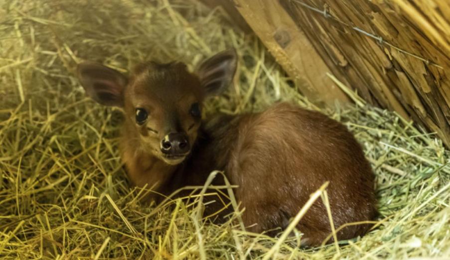 Zoo ve Dvoře Králové se podařilo odchovat mládě lesní antilopy chocholatky červené