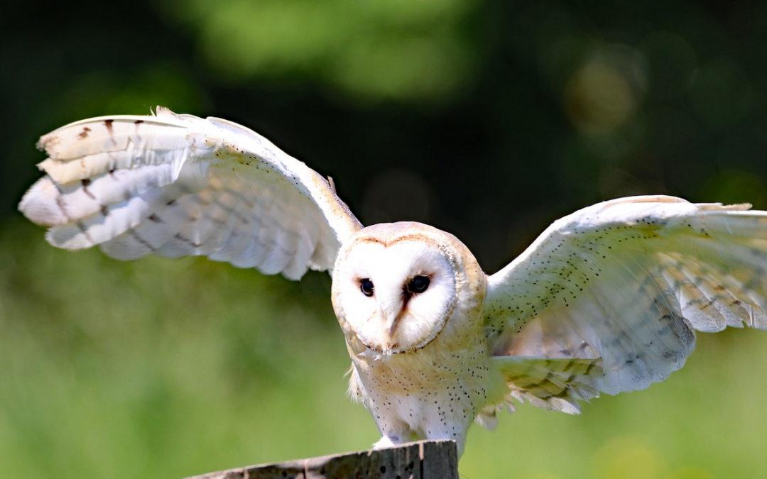 Barn Owl - a nest in Great Britain