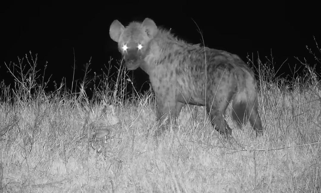 Hyena ulovila mladou impalu v přímém přenosu u napajedla Djuma