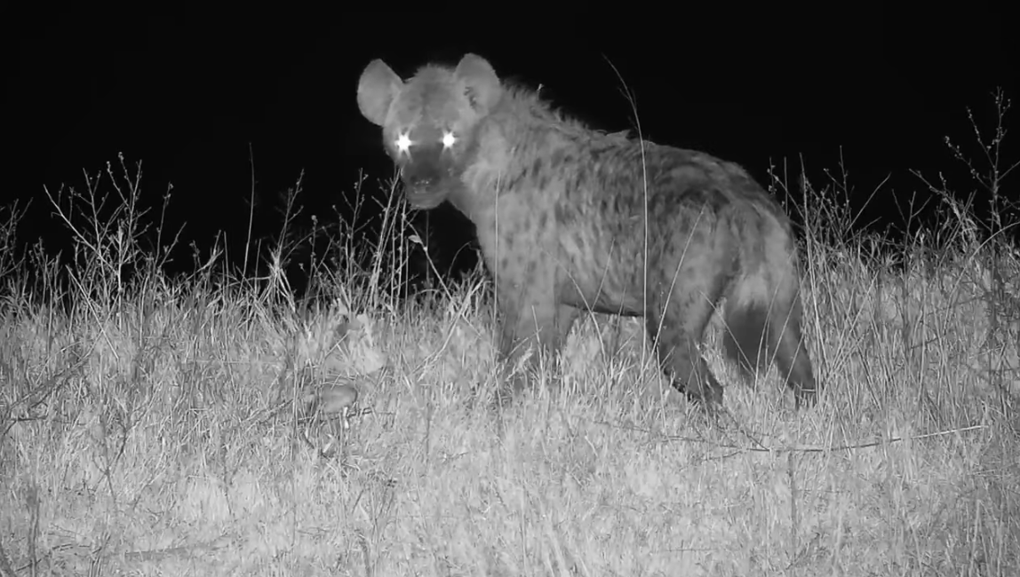 The hyena caught a young impala live at Djuma's watering hole