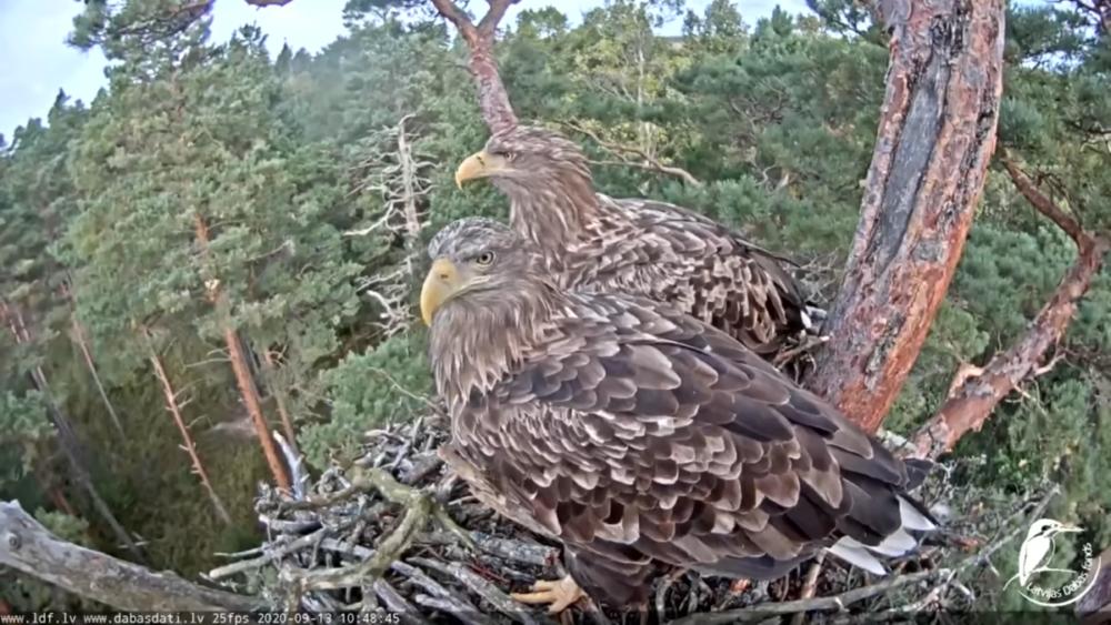 The sea eagles in Latvia began rebuilding the nest