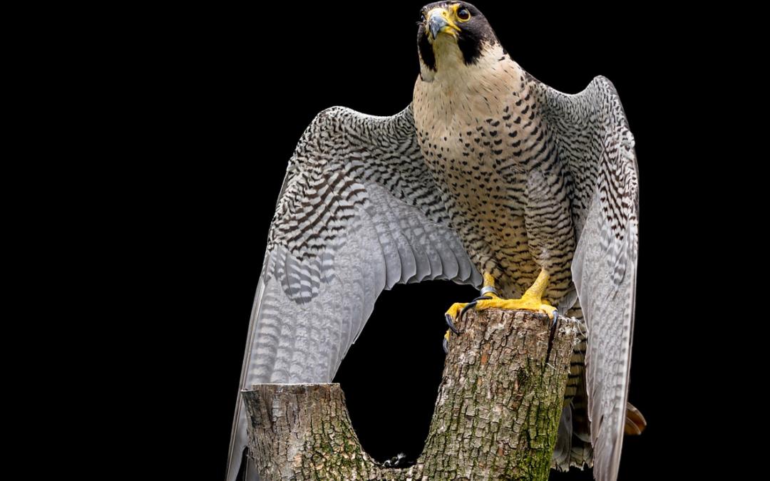 Peregrine Falcon - Melbourne