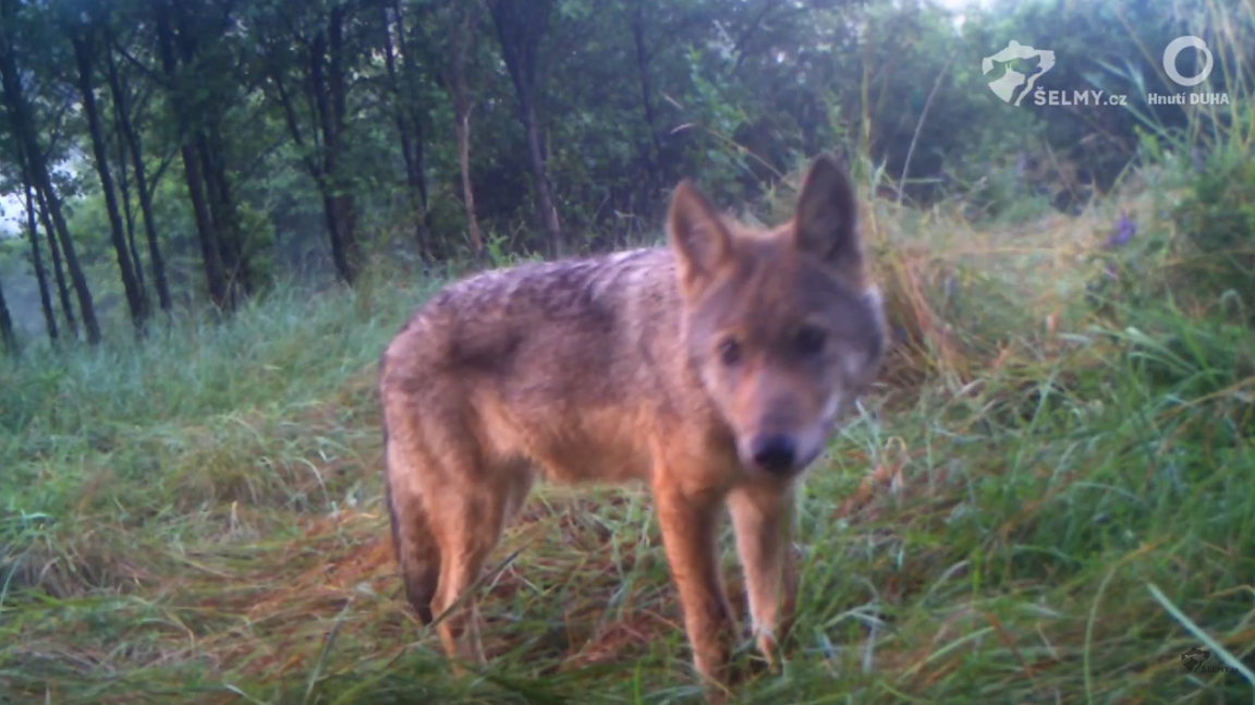 This year, wolves were born in the Czech Republic to at least ten wolf packs