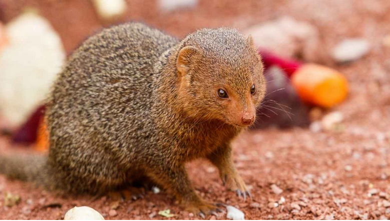 Dwarf mongoose cubs were born in the Ostrava Zoo