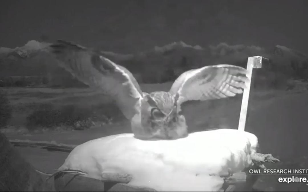 Výr virginský na hnízdě orlovců říčních v Montaně – videozáznamy