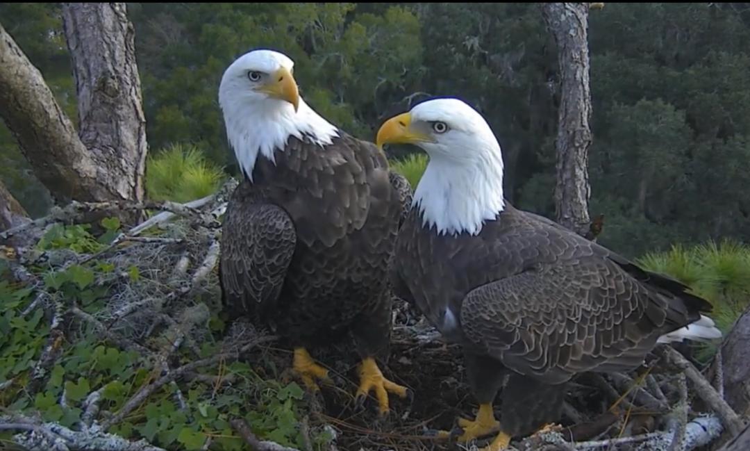 Hamlet opět online! Hnízdo orlů bělohlavých na Floridě
